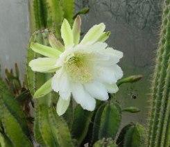 Cereus Fiori ermafroditi