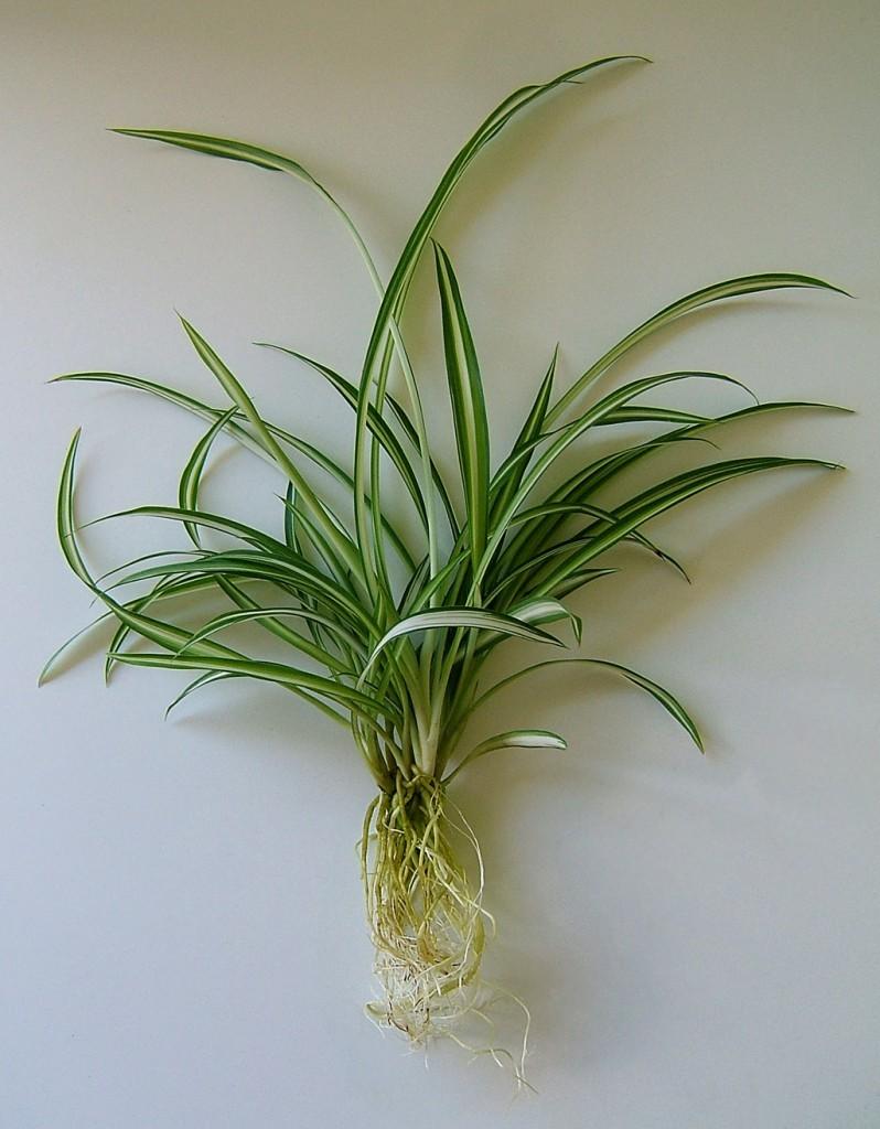 Chlorophytum rinvaso