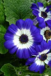 Cineraria fiore