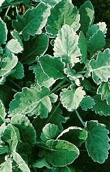 foglie grandi