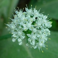 Cipolla fiore bianco