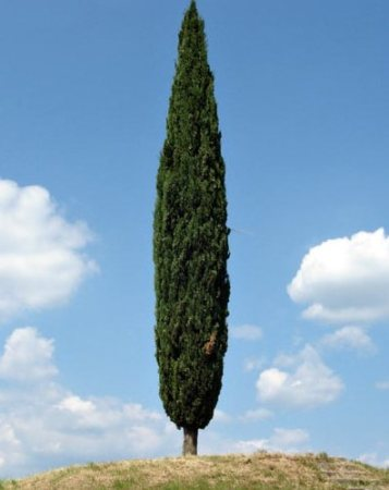 Cipressus sempervirens