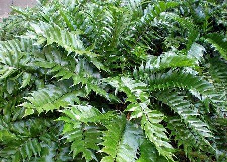Dryopteridaceae