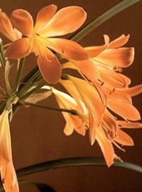 Clivia fiori tubolari