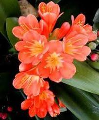 fiori ad ombrella