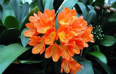 Amarillidaceae