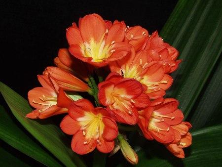 Amarydillaceae