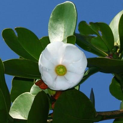 foglie clusia