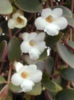 Codonanthe fiori a trombetta