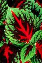 Coleus foglie variegate