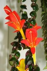 Columnea fiori