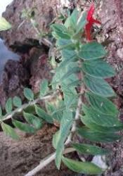 foglie ovali opposte