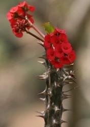 Corona di Spine fusti legnosi