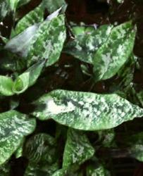 Criptanto foglie screziate