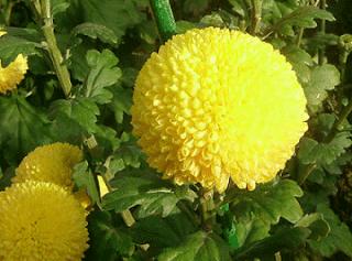 fluorescenza tonda crisantemo
