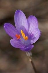 fiore a coppa
