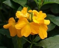 Crossandra fiore forma tubolare