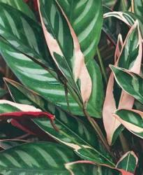 Ctenanthe pianta ornamentale