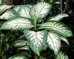 Dieffenbachia foglie grandi