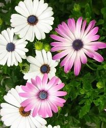 Dimorfoteca fiori colorati