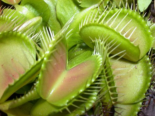 Dionaea muscipula informazioni mantenimento e avversit for Pianta carnivora dionea