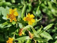 Dragoncello Estragone fiore profumato