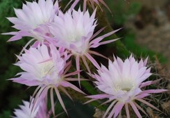Echinopsis fiori tubolari