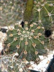 Echinopsis spine