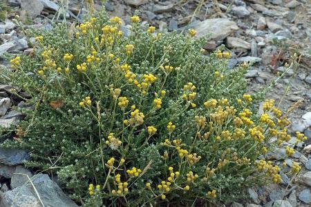 Helichrysum italicum L.
