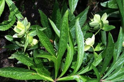 Ranuncolaceae