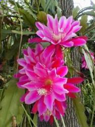 Epiphyllum fiori vistosi