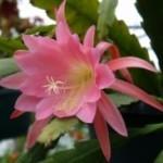 Epiphyllum fusti cerosi