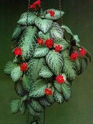 Episcia pianta rampicante