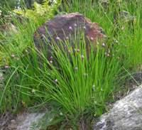 Erba cipollina foglie cilindriche