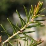 Erica foglie aghiformi