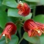 Escinanto fiori appariscenti