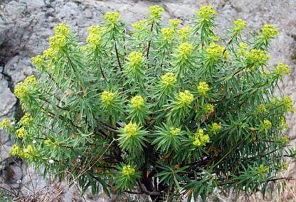 Euphorbia Dendroides