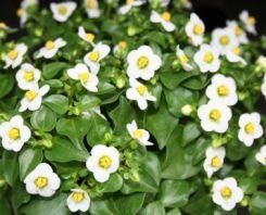 Exacum fiore cinque petali