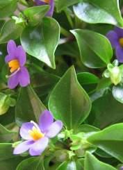 Exacum foglie ovali