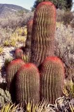 Ferocactus spine appuntite