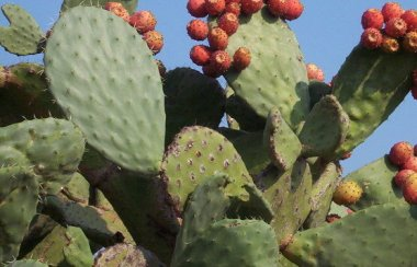 Opuntia ficus
