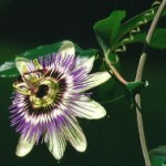 Fiore della Passione