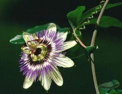 Fiore della passione fusti legnosi
