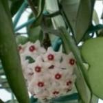 Fiore di cera foglie carnose