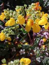 Fiore di scarpetta fiore labello ricurvo