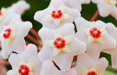 Far radicare le talee di hoya cactusfollia for Pianta fiori di cera