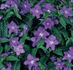 Fiori di Zaffiro fiore a stella