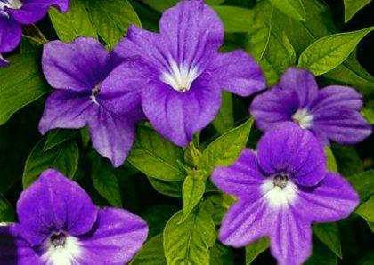 Fiori di zaffiro for Fiori perenni per bordure