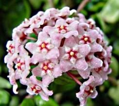 Fiori di cera fiori cerosi
