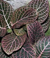 Fittonia foglie ovali